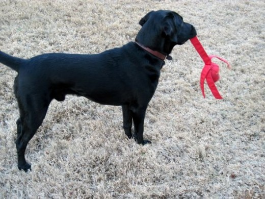 labrador retriever and wubba