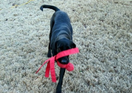 labrador with wubba toy